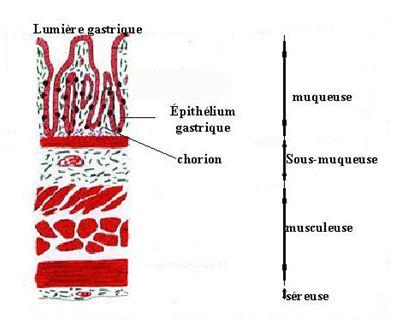 Figure 4 Helicobacter pylori  Etude bactériologique des premières souches isolées à l'Hôpital Bologhine Ibn Ziri