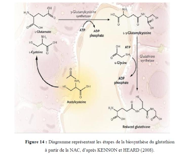 Figure 13 Diagramme représentant les étapes de la biosynthèse du glutathion à partir de la NAC, d'après KENNON et HEQRD (2008)