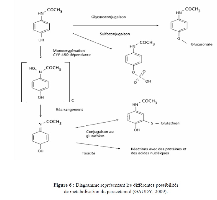 Figure 6 Diagramme représentant les différentes possibilités de métabolisation du paracétamol (GAUDY, 2009)