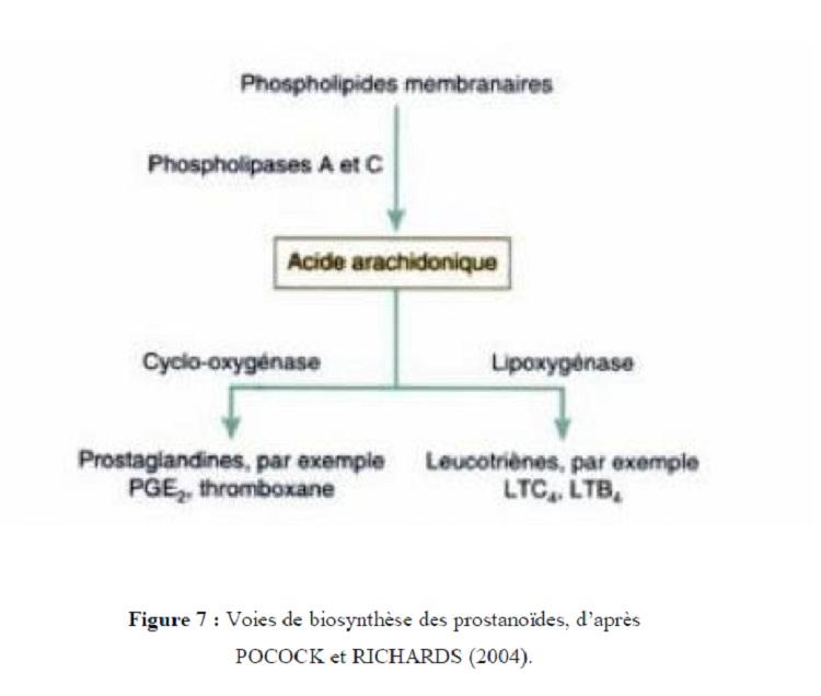 Figure 7 Voies de biosynthèse des prostanoides, d'après POCOCK et RICHARDS (2004)