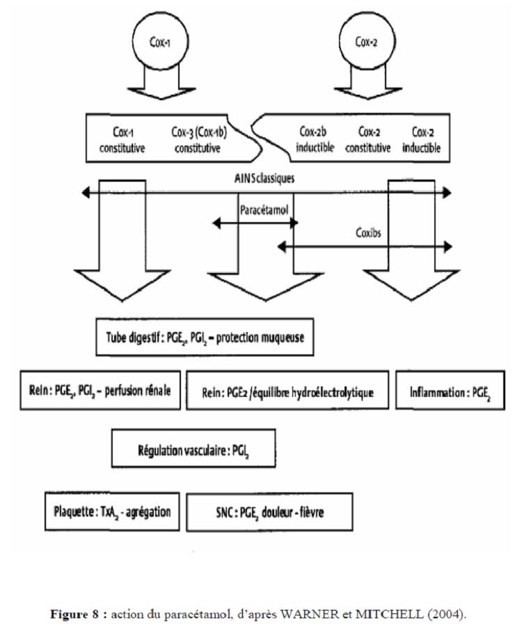 Figure 8 action du paracétamol, d'après WAENER et MITCHELL (2004)