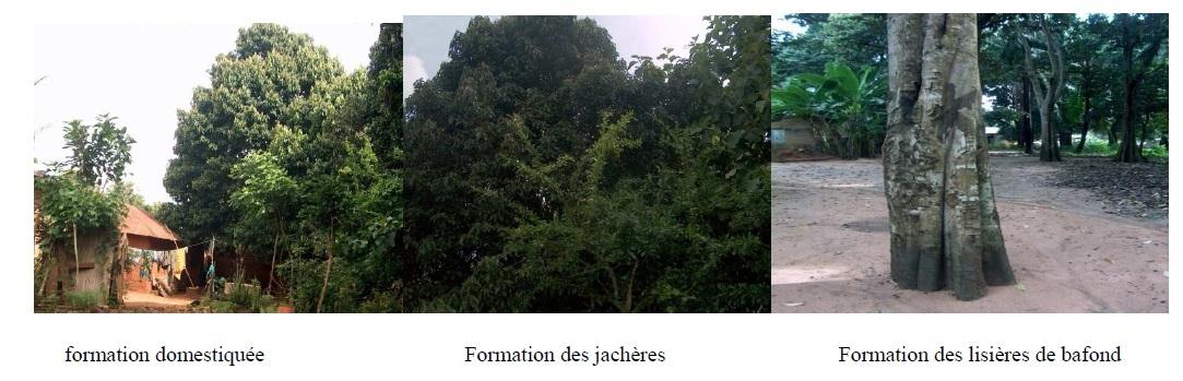 Photo 1 Structure diamétrique et caractérisation de l'habitat des peuplements du Chrysophyllum albidum G.Don (Sapotaceae) sur le plateau d'Allada au Bénin