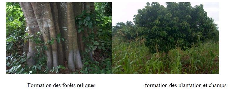 Photo 2 Structure diamétrique et caractérisation de l'habitat des peuplements du Chrysophyllum albidum G.Don (Sapotaceae) sur le plateau d'Allada au Bénin