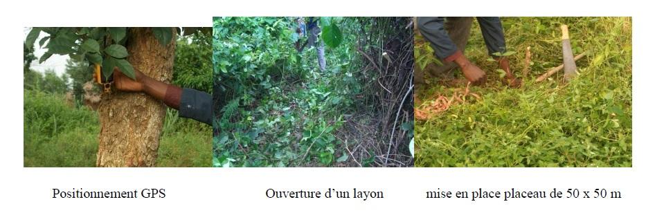 Photo 3 Structure diamétrique et caractérisation de l'habitat des peuplements du Chrysophyllum albidum G.Don (Sapotaceae) sur le plateau d'Allada au Bénin