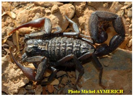 Figure 14 Scorpionisme, Epidémiologie et Facteurs de Risque au Maroc  cas de la province de Khouribga