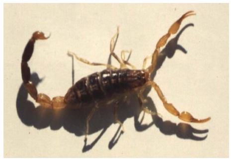 Figure 16 Scorpionisme, Epidémiologie et Facteurs de Risque au Maroc  cas de la province de Khouribga