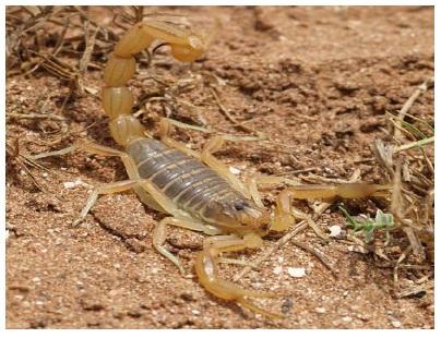 Figure 24 Scorpionisme, Epidémiologie et Facteurs de Risque au Maroc  cas de la province de Khouribga