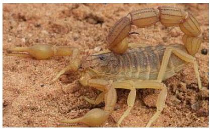 Figure 25 Scorpionisme, Epidémiologie et Facteurs de Risque au Maroc  cas de la province de Khouribga