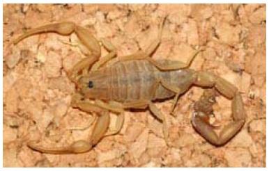 Figure 26 Scorpionisme, Epidémiologie et Facteurs de Risque au Maroc  cas de la province de Khouribga