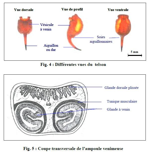 Figure 4,5 Scorpionisme, Epidémiologie et Facteurs de Risque au Maroc  cas de la province de Khouribga