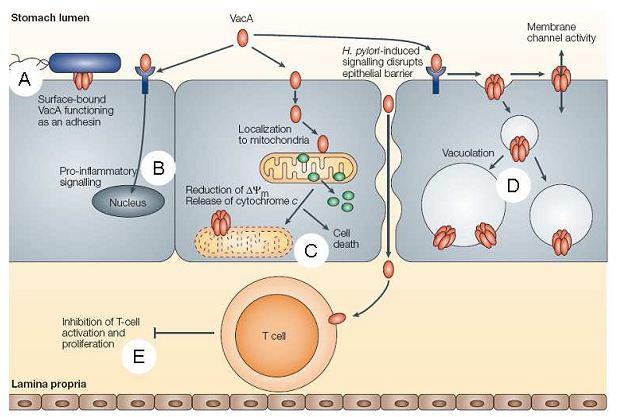 Figure 8 Helicobacter pylori  Etude bactériologique des premières souches isolées à l'Hôpital Bologhine Ibn Ziri