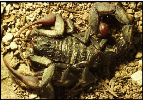 Figure 3 Les envenimations scorpioniques au Maroc