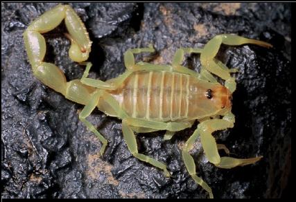 Figure 7 Les envenimations scorpioniques au Maroc