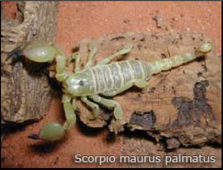 Figure 8 Les envenimations scorpioniques au Maroc