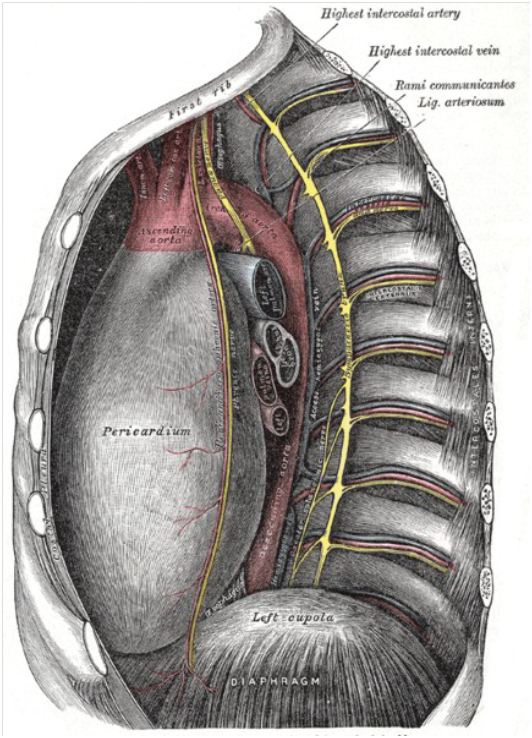 La chaine sympathique au niveau du thorax (en jaune)
