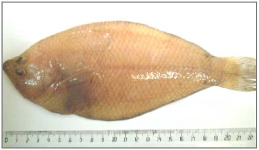 Face zénithale de Citharus linguatula