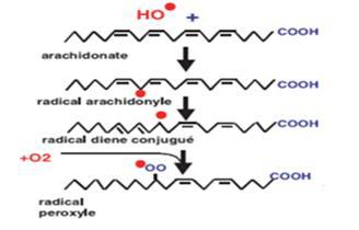 Initiation de la peroxydation lipidique [Favier., 2003]