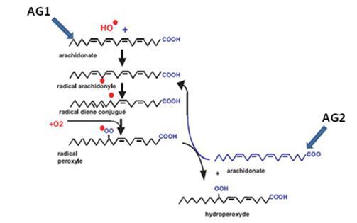 La propagation de la peroxydation lipidique à d'autres AGPI  réaction en chaine [Favier., 2003]