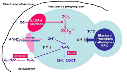 Métabolisme oxydatif du neutrophile [Reeves., 2002]