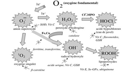 Régulation des ERO par les antioxydants [Pincemail et al., 2002]