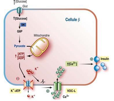Stimulation de la sécrétion de l'insuline par le glucose [Dolz., 2008]