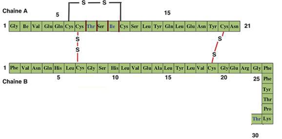Structure primaire de l'insuline humaine [Magnan et al., 2005]