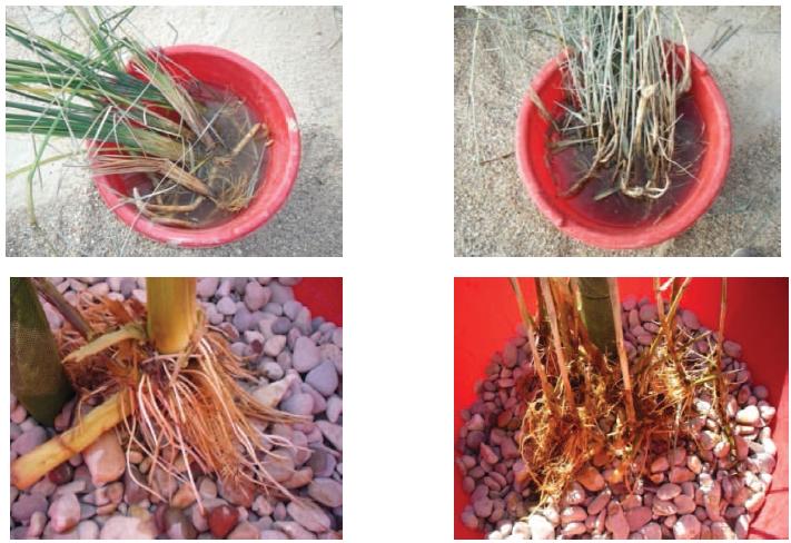 La croissance des racines