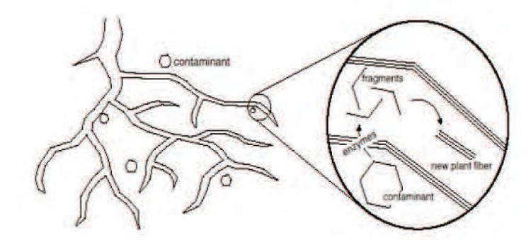 Schéma représentant la Phytodégradation