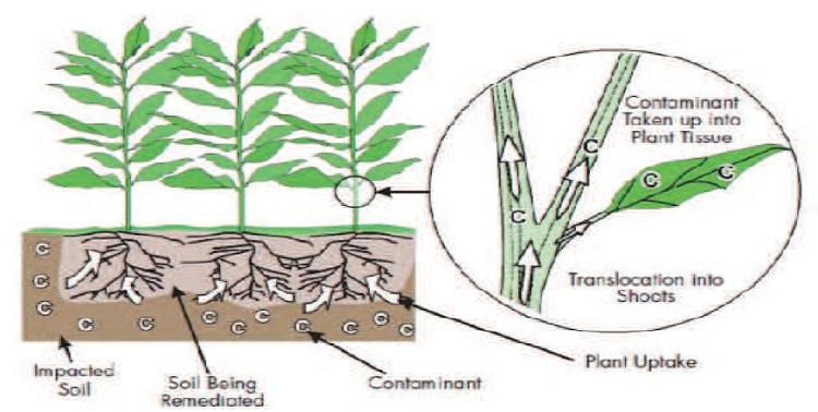 Schéma représentant la Phytoextraction