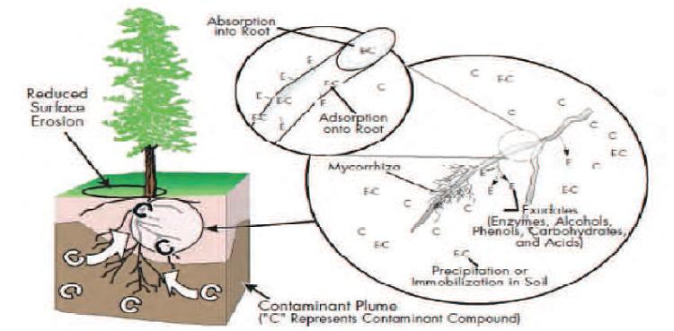 Schéma représentant la Phytostabilisation