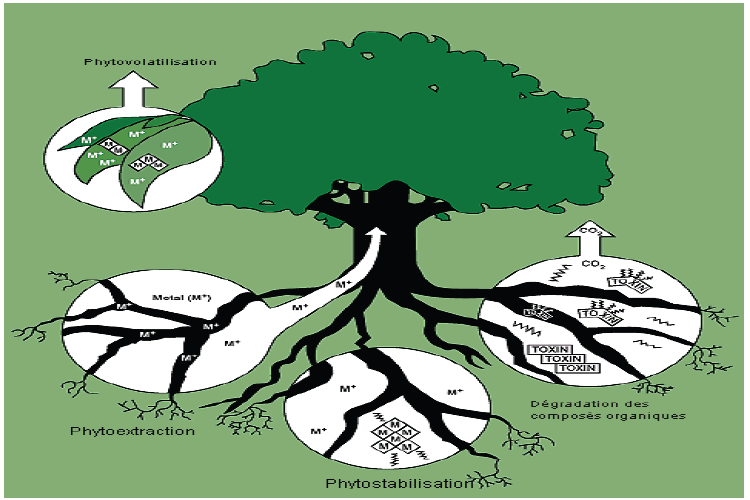Schéma représentant la phytoremédiation